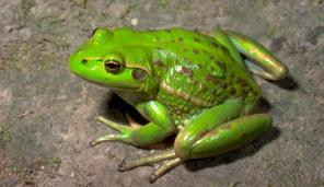 growling_grass_frog_01