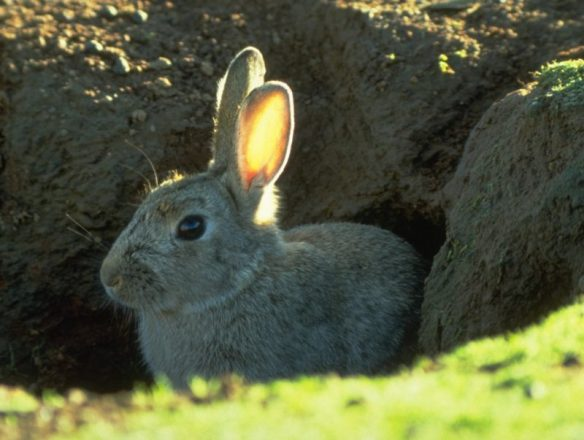 rabbit-in-burrow